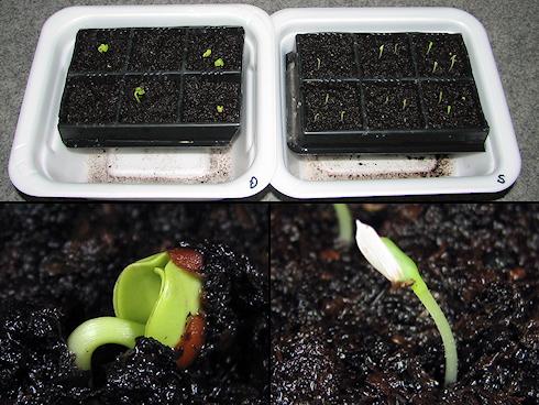 サラダ菜と葉大根が発芽