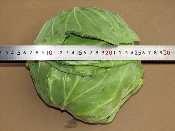 20cm級キャベツを初収穫