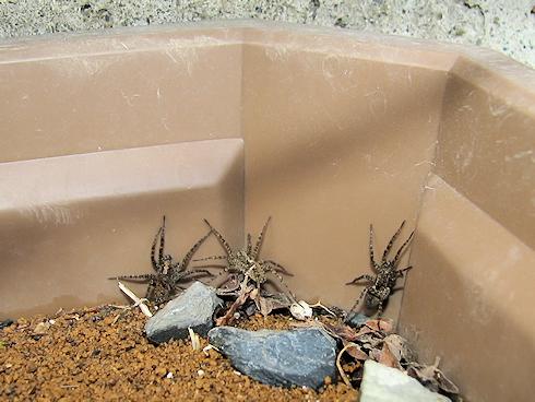 HELPの3匹のクモ