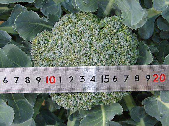 ブロッコリー10cmに生長