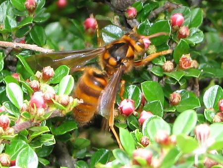 スズメバチ来襲