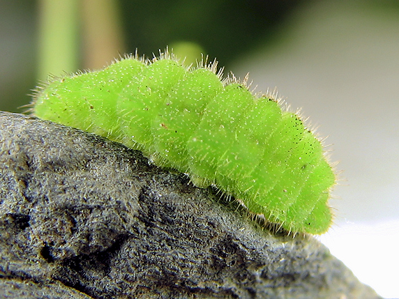 ヤマトシジミの幼虫の接写