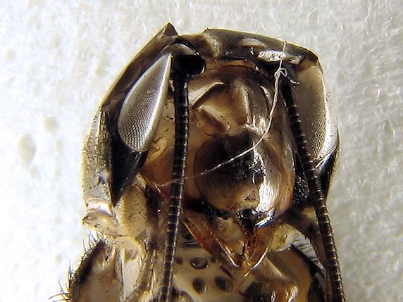 エンマコオロギの脱皮の抜け殻