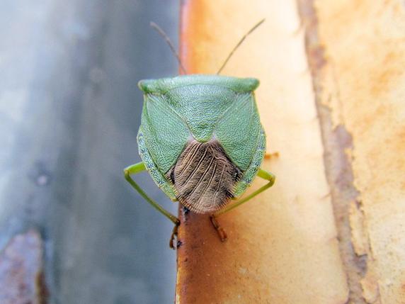 エゾアオカメムシ緑色