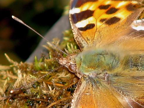 羽根を休めるヒオドシチョウ