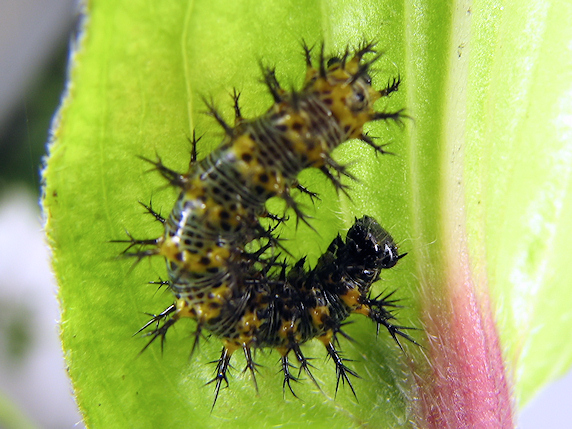 ルリタテハの幼虫は元気