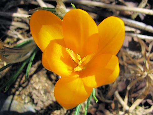 庭のクロッカスが開花