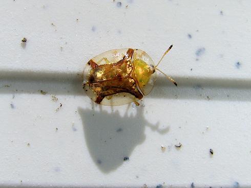 黄金色に輝くジンガサハムシ