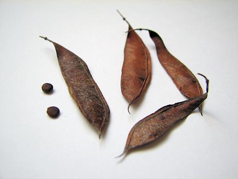 ハナズオウの種子採取