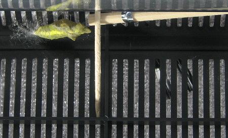 アゲハチョウの羽化の連続写真1 / 撮影時間 10:32:18