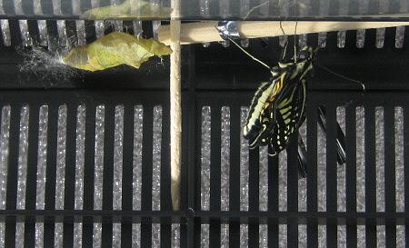アゲハチョウの羽化の連続写真3 / 撮影時間 10:38:18