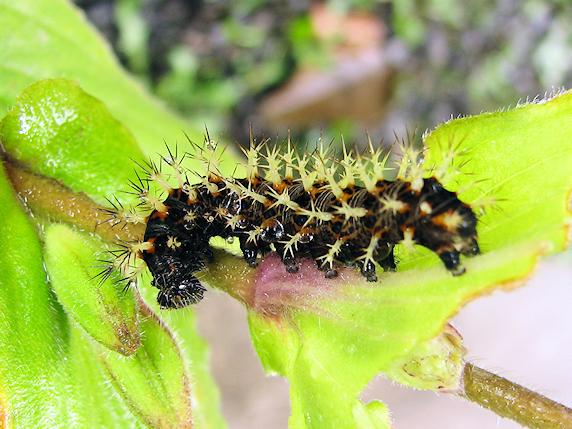 ルリタテハの幼虫の続報