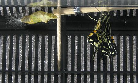 アゲハチョウの羽化の連続写真4 / 撮影時間 10:41:18