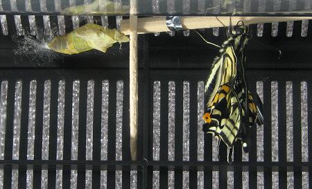 アゲハチョウの羽化の連続写真5 / 撮影時間 10:44:18