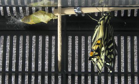 アゲハチョウの羽化の連続写真6 / 撮影時間 10:47:18
