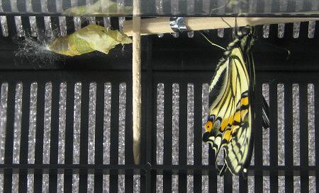 アゲハチョウの羽化の連続写真7 / 撮影時間 10:50:18