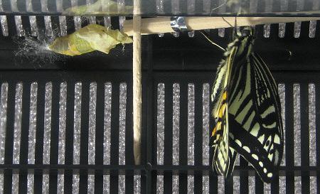 アゲハチョウの羽化の連続写真8 / 撮影時間 10:53:18