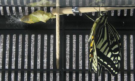 アゲハチョウの羽化の連続写真10 / 撮影時間 10:59:18