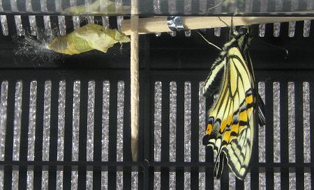 アゲハチョウの羽化の連続写真11 / 撮影時間 11:02:18