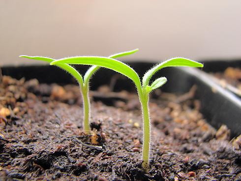本葉が出てきた矮性ミニトマト