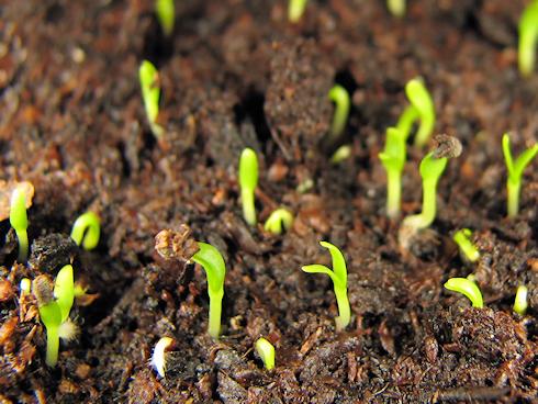何かの芽が発芽