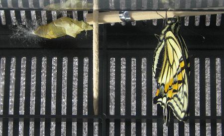 アゲハチョウの羽化の連続写真12 / 撮影時間 11:05:18