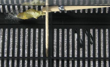 アゲハチョウの羽化の連続写真13 / 撮影時間 11:08:18