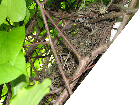 ハクセキレイの巣のその後