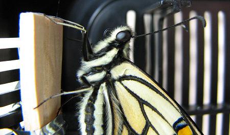 アゲハチョウの羽化の連続写真B