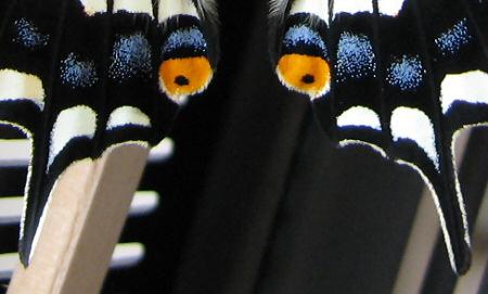 アゲハチョウの羽化の連続写真C