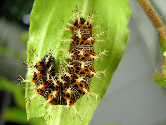 食べ移るルリタテハの幼虫