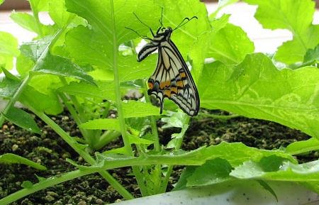 アゲハチョウの羽化の連続写真E