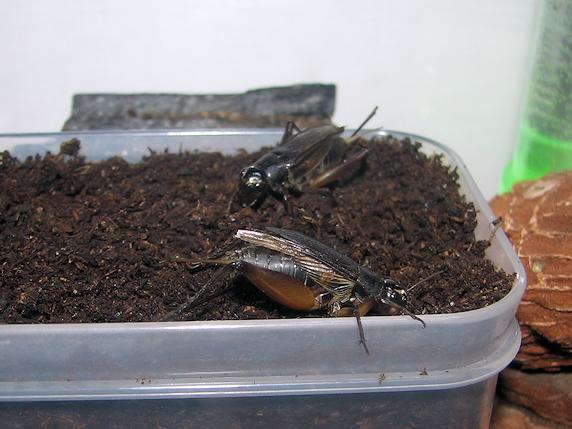 食べる飲む産むエンマコオロギ