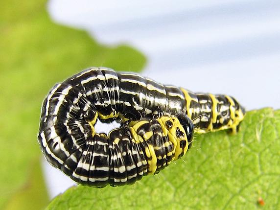 ヒトスジマダラエダシャクの幼虫