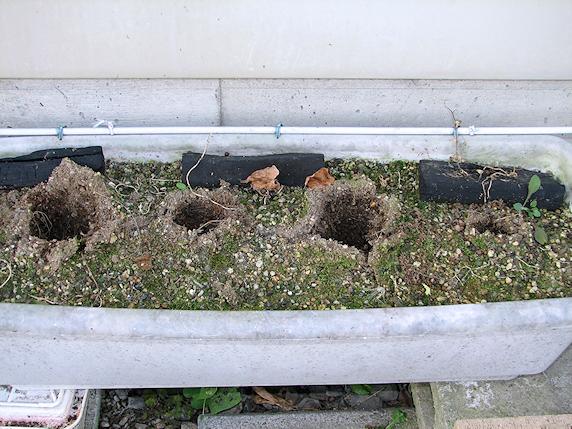 大根化した葉大根を収穫