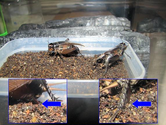 エンマコオロギが産卵