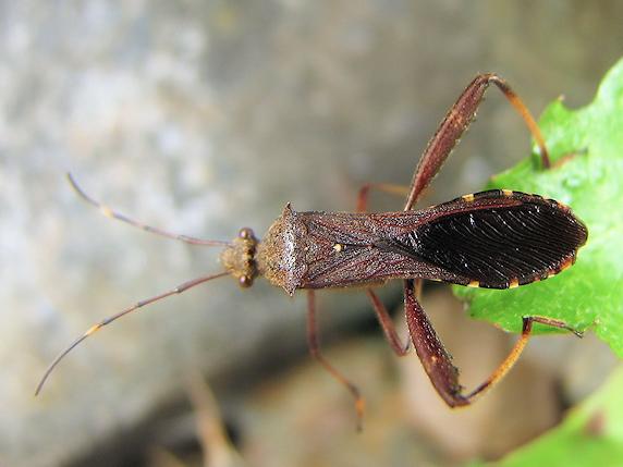 ホソヘリカメムシの成虫