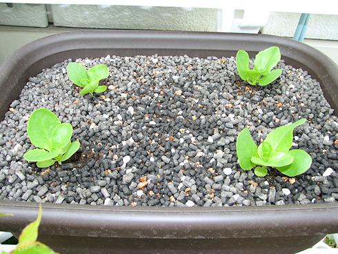 順調に生育中のサラダ菜