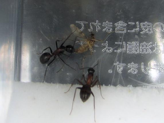 蚊を食べるムネアカオオアリ