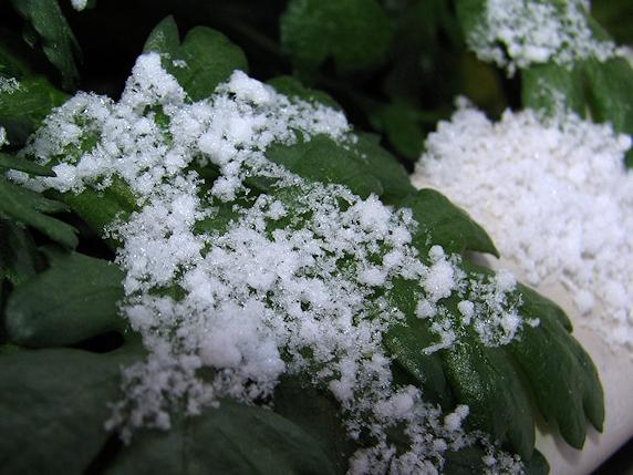 氷点下積雪のベランダ菜園