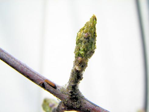 新芽を食べるミノウスバの幼虫