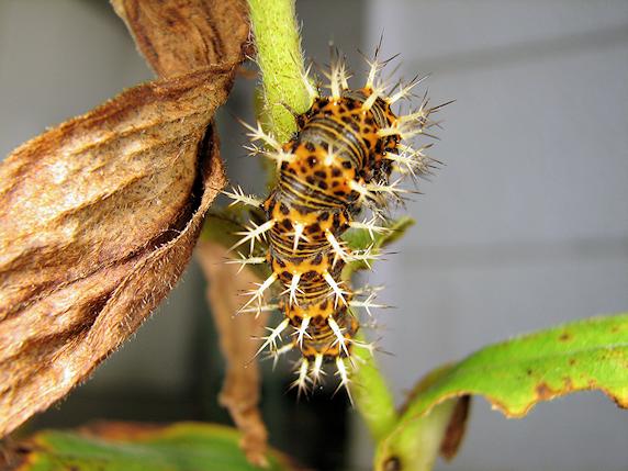 ルリタテハの幼虫がサナギになった