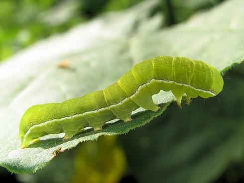 キバラモクメキリガの幼虫
