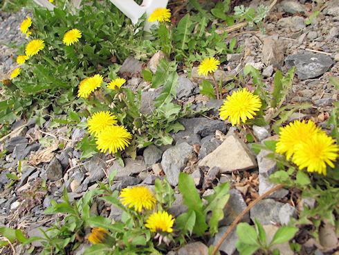 タンポポの一斉開花