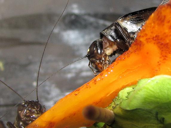 柿を食べるエンマコオロギ