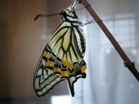 最後のアゲハチョウの羽化成功