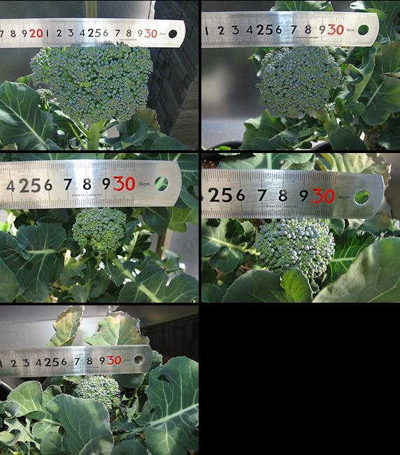 ブロッコリーの2回目の収穫近し