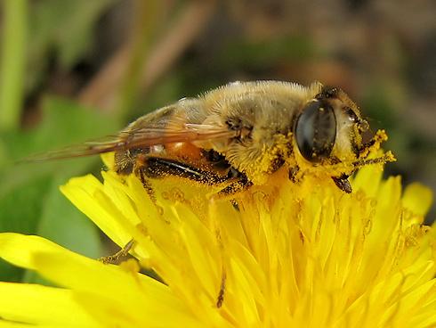 花粉まみれのナミハナアブ