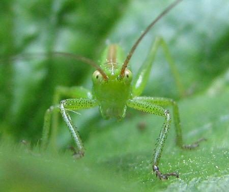 写真館-庭に常駐するヤブキリの幼虫