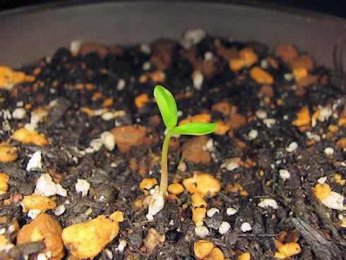 ハナズオウの発芽